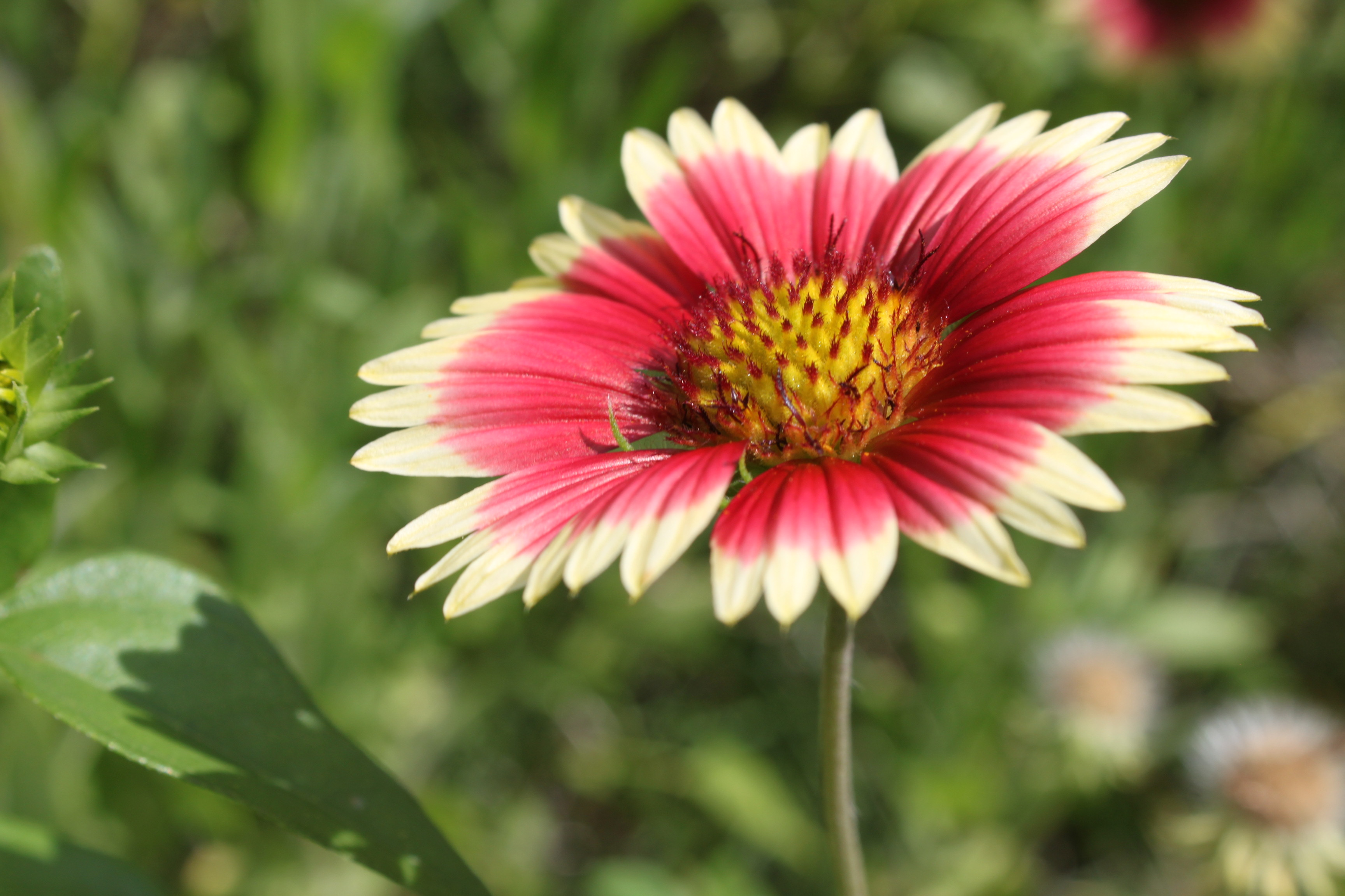 This blanket flower is an example of an autotroph because it uses WIn62EhV